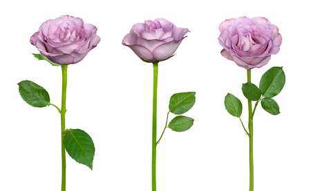Tender lilac roses isolated on a white background Stock Photo