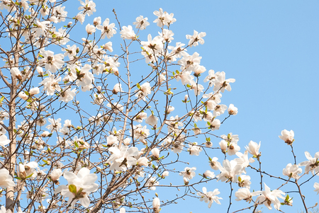 Wonderful blooming magnolia tree on a blue sky background