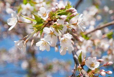 White spring blooming branch of cherry tree