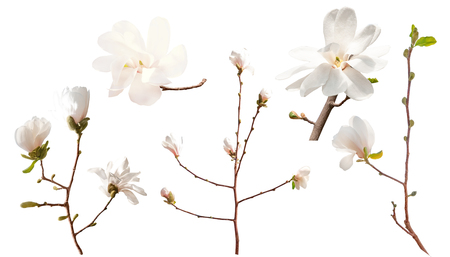 Set of white magnolia flowers  isolated on a white background