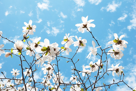 Wonderful blooming magnolia flower on a blue sky background
