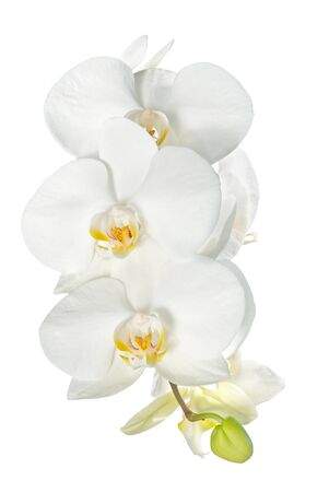 White orchid branch isolated on a white background