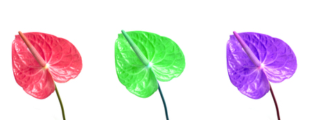 Isolated anthurium flower. Trends 2019.