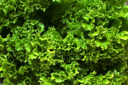 Green lettuce plants close up Imagens