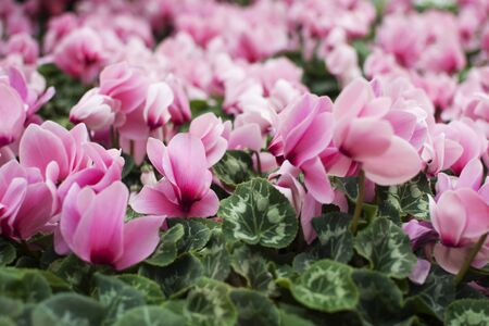 A lawn of beautiful pink cyclamens. Spring tender flower. Poisonous flower, medical poison. Floral background. Home plants.