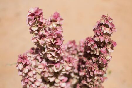 Pink inflorescence. Small flowers on a stem, desert flower. Flora in arches national park america.