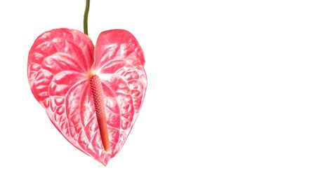 Isolated pink anthurium flower on white background. Layout for design, copy space. Tropical flower in the shape of a heart. Concept of intimate relationships. Flower for Valentine's, Mother's Day. Banco de Imagens