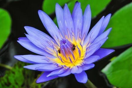 flor de loto: Azul lirio de agua