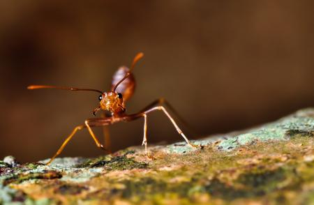 red ant: hormiga roja en la f�sica