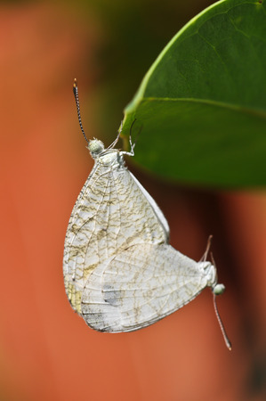 Butterfly Mating photo