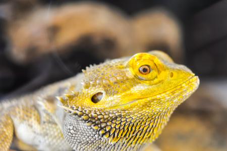 chameleon lizard: Chameleon Lizard Yellow