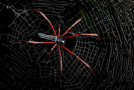 araneidae: Spider on the net Stock Photo