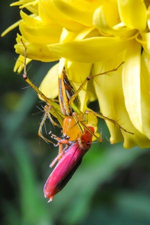 araneidae: spider kill victim