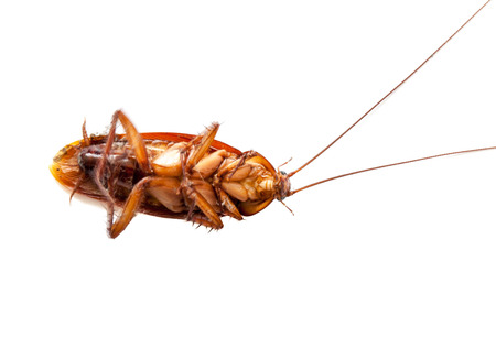 cockroach dead on isolated white photo