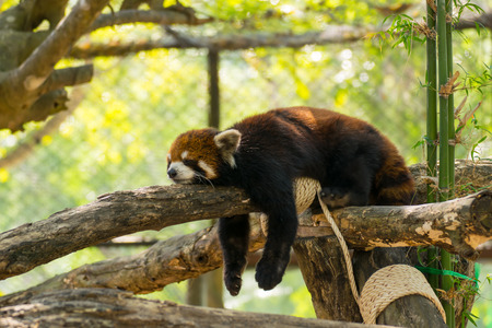 Red Panda animal from chinese Imagens