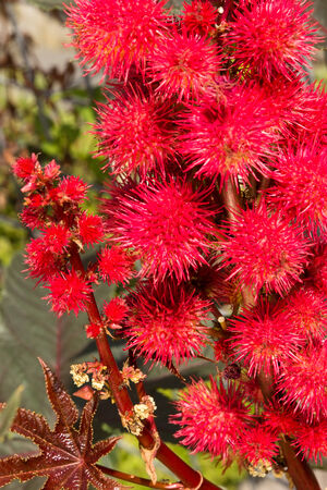 drumstick tree: Close up of a castor oil plant