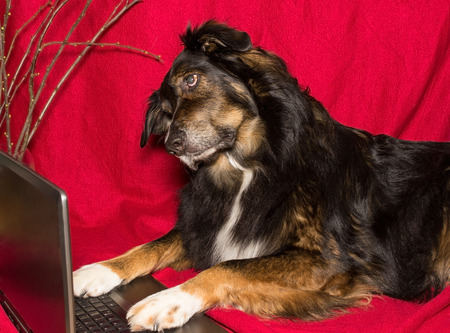 half breed: Dog looking curious at an laptop