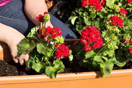 A window box is planted with geraniums Reklamní fotografie