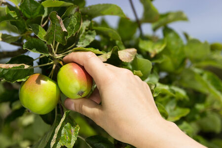 A hand reaches for a ripe apple on a tree photo