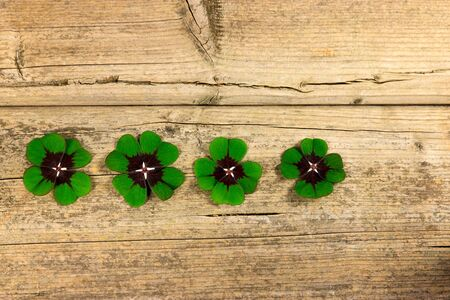 Four four-leaf clover leaves next to each other on a wooden table