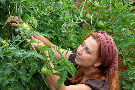 Young woman isexamining her tomato plants in her garden