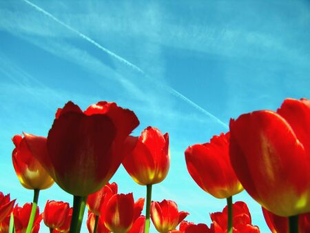 Red tulips with a blue sky background. photo