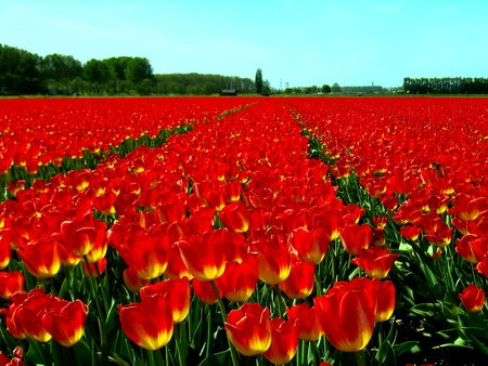 Field of beautiful red tulips on a sunny day.        photo