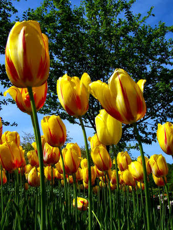 Yellow-red tulips on the garden (close-up details).       photo