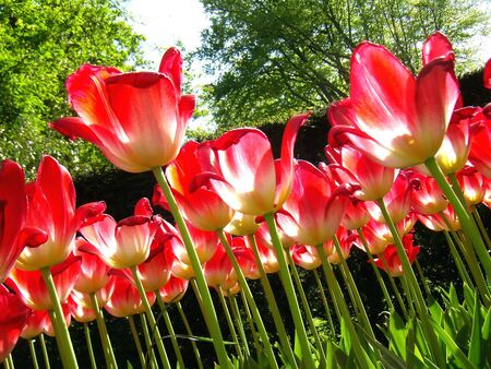 Yellow-red tulips on the garden (close-up details). Stock Photo - 2104824