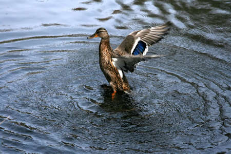 color image mallard duck: Beautiful female mallard duck with open wings on a river. Stock Photo
