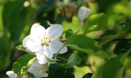 Close-up details of an apple-tree flower in blossom. photo