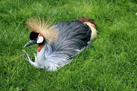 Close-up details of a resting Grey Crowned Crane (Balearica regulorum) in a grass. photo