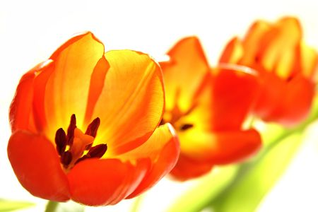 Close-up details of yellow-red tulips isolated on white background (selective focus).