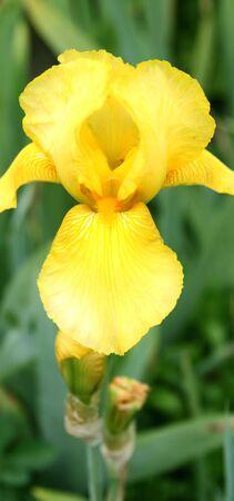 Close-up details of an yellow Iris sp. flower (selective focus). photo