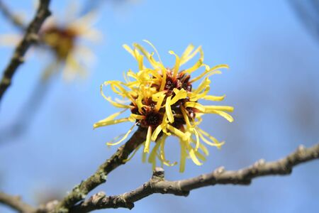 Close-up details of witch-hazel flowers (Hamamelis sp.) with blue sky in the background-selective focus.