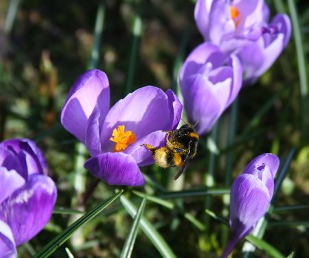 Busy bumble bee on Crocus sp. flower (selective focus). Stock Photo - 4604718