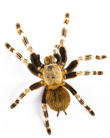 arthropod: Brazilian red and white tarantula Nhandu chromatus isolated on white background Stock Photo