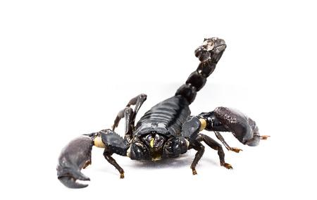 arthropod: Giant Forest ScorpionGiant Blue Scorpion Heterometrus spinifer isolated on white background Stock Photo