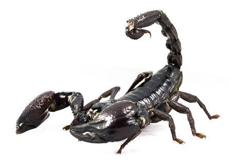 arthropod: Giant Forest ScorpionGiant Blue Scorpion Heterometrus spinifer Stock Photo
