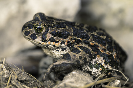 chromatic: Bufo viridis  European green toad a species with great chromatic variation found mainly in Europe
