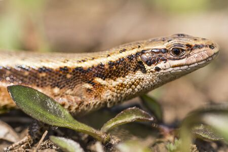 viviparous lizard: Portrait of a viviparous lizard Zootoca vivipara Stock Photo