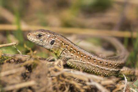 lacerta: Portrait of a sand lizard Lacerta agilis