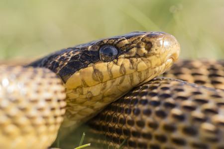 blotched: Portrait of a blotched snake Elaphe sauromates Stock Photo