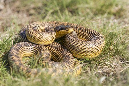 blotched: Blotched snake Elaphe sauromates fullbody shot in natural habitat