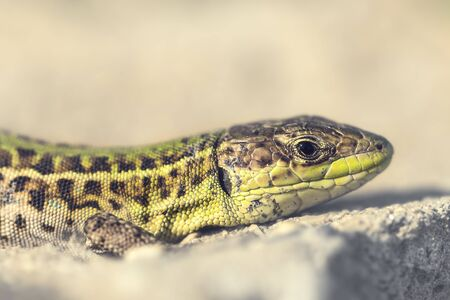 the balkan: Portrait of a Balkan wall lizard Podarcis tauricus sunbathing