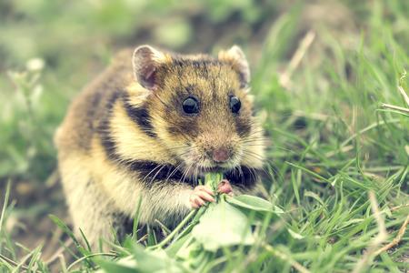 habitat: Romanian hamster Mesocricetus newtoni in natural habitat