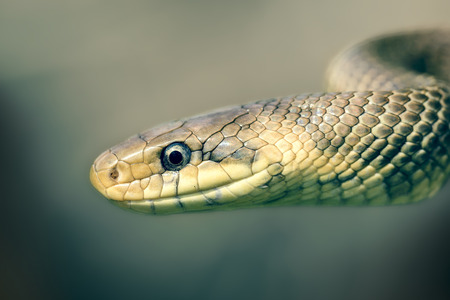 aesculapius: Serpiente de rata de Escolapio Zamenis longissimus en huelga de vista posición lateral
