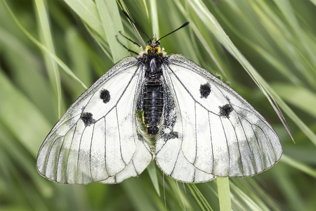 protected plant: Parnassius mnemosyne  The clouded apollo dorsal view Stock Photo