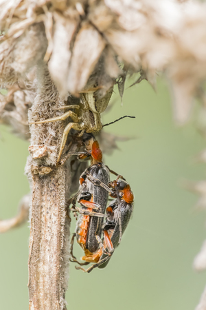 coleoptera: Spider feeding on a couple of coleoptera still mating