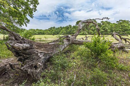 danube delta: Dead oak on Letea marine levee, Danube Delta